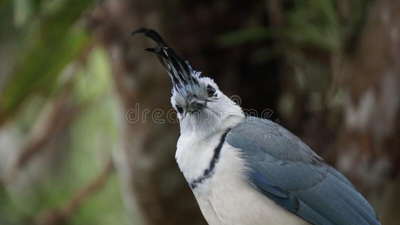 From a bird`s eye : a White-throated magpie-jay stock images