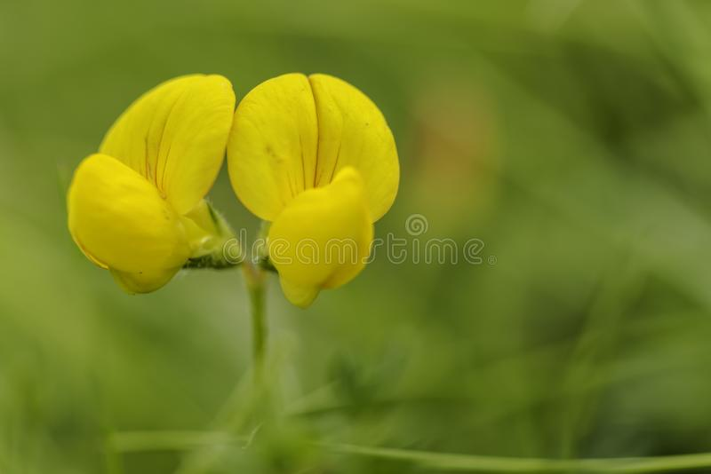 Bird`s-foot trefoil in closeup with green background. Bird`s-foot trefoil in closeup, with narrow depth of field and a green background royalty free stock photography