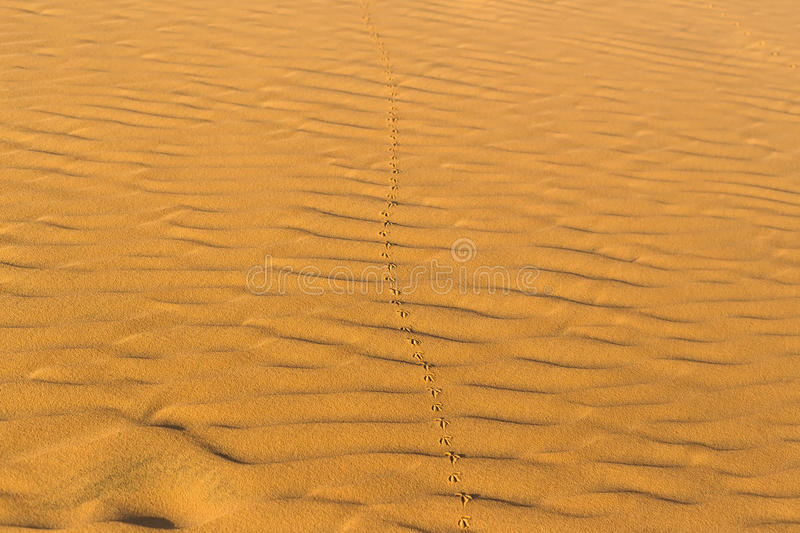 Bird`s footprints on the wavy sand in desert royalty free stock images