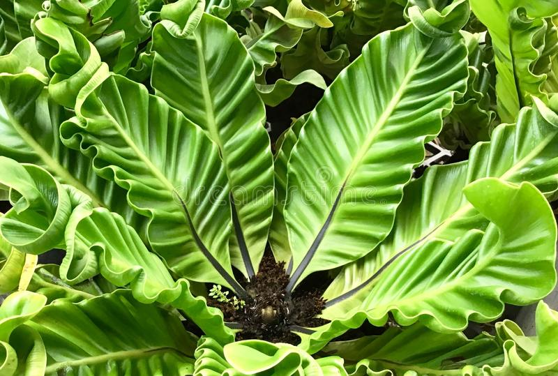 Bird`s Nest Fern or Asplenium Nidus Plant stock photography