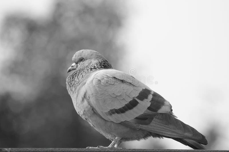 Bird`s Profile : Pigeon looking Forward stock photo