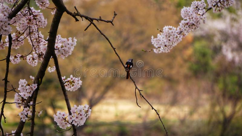 Bird among Sakura or cherry blossoms. royalty free stock photography