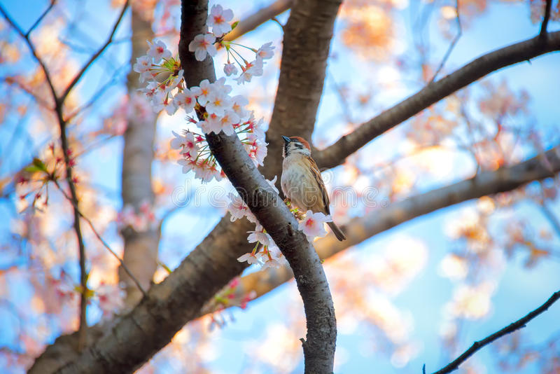 Bird on sakura tree stock photography