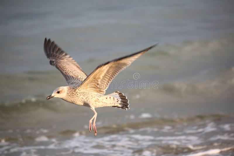 bird sea gull in summer by the Mediterranean sea royalty free stock images