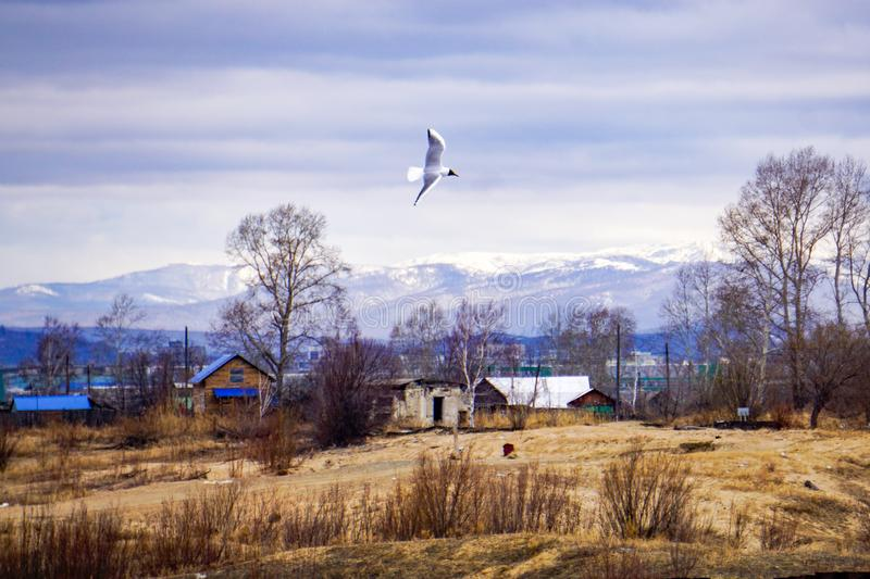 Bird seagull on a background of rustic spring landscape. Old country houses, the snow has already gone, overcast sky. in the background - mountains in the snow stock images