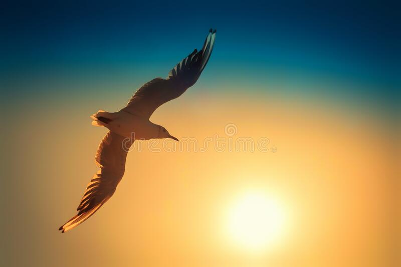 Bird Seagull flying against the background of the sunset setting sun royalty free stock photos