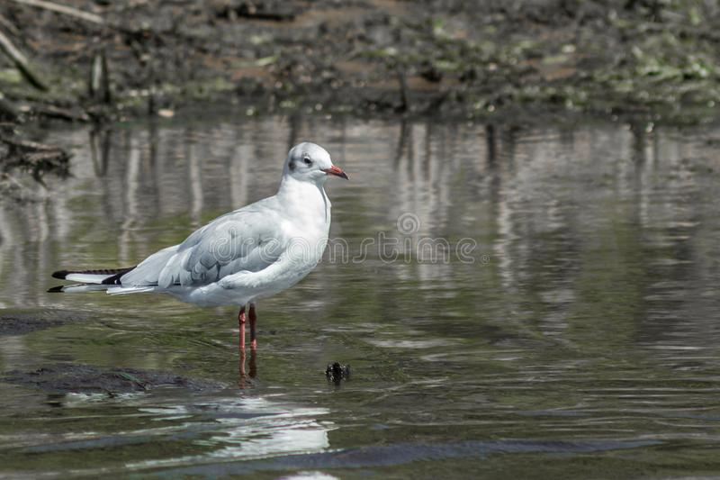 Bird Seagull in water royalty free stock photography