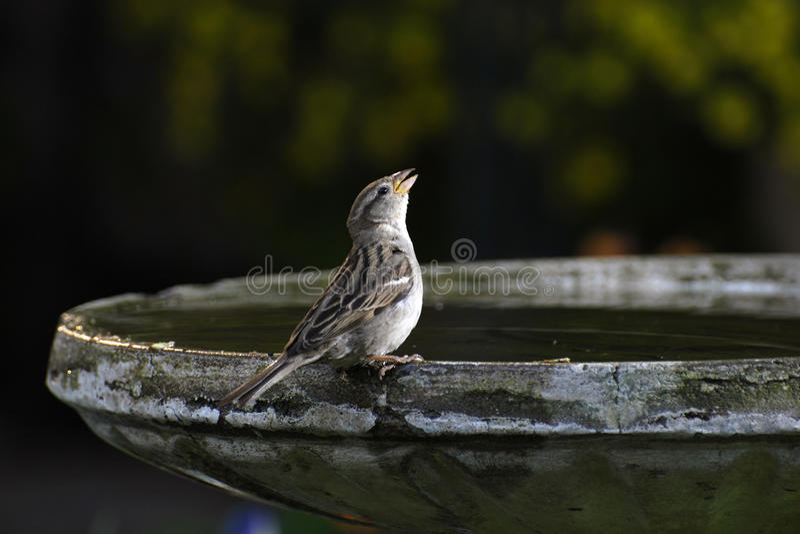 Bird Singing. Small bird drinking or chirping sitting on the edge of a bird bath stock photography