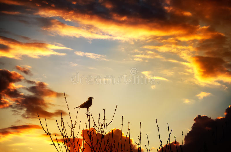 Bird singing at sunset royalty free stock photos