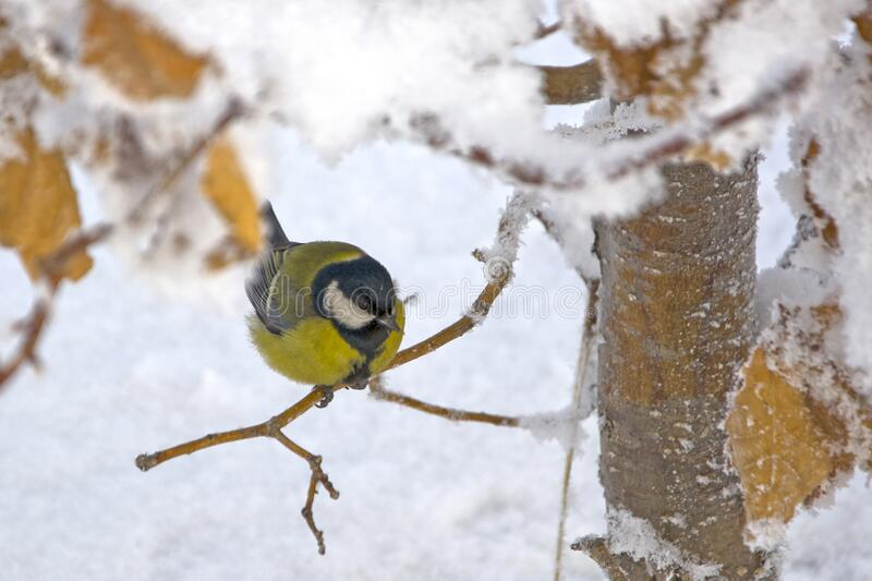 A bird sits on a branch under the snow. Winter. Not fallen yellow leaves stock images