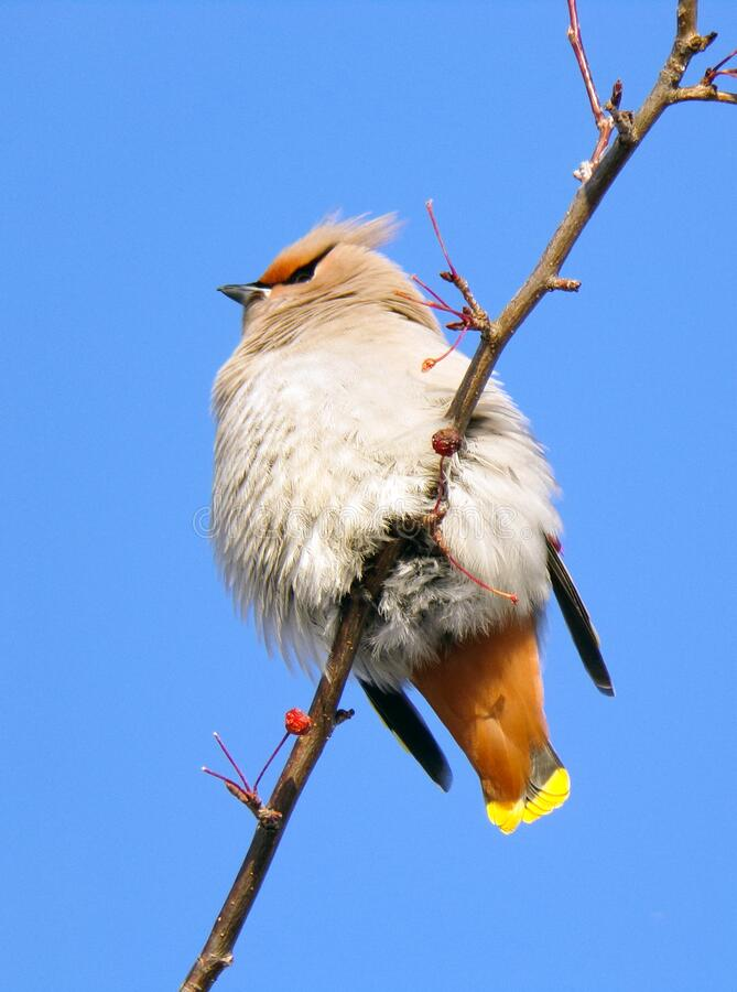 A bird sits on a tree branch against a blue sky. Fluffy feathers of a bird in the winter frost stock photos
