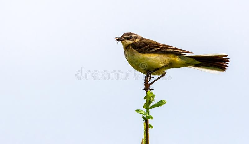 The bird holds an insect in its beak. The bird sits on a twig and holds an insect in its beak. Wildlife concept. Russia Moscow region stock image