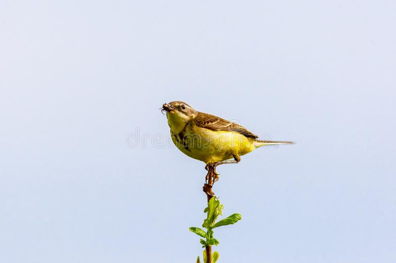 The bird holds an insect in its beak. The bird sits on a twig and holds an insect in its beak. Wildlife concept. Russia Moscow region royalty free stock photos