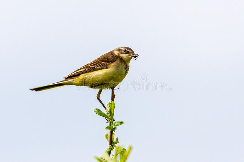 The bird holds an insect in its beak. The bird sits on a twig and holds an insect in its beak. Wildlife concept. Russia Moscow region royalty free stock image