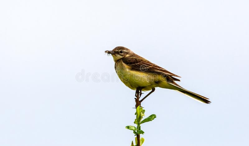 The bird holds an insect in its beak. The bird sits on a twig and holds an insect in its beak. Wildlife concept. Russia Moscow region stock photography