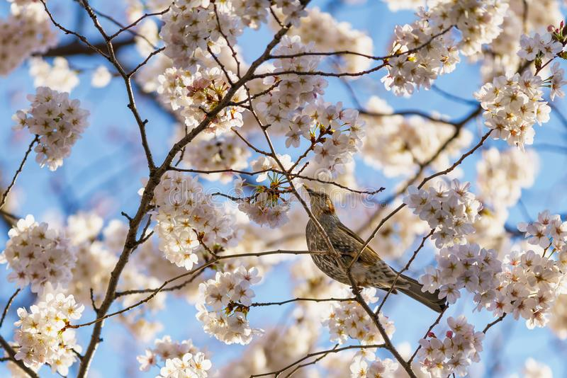 A bird sitting amongst cherry blossoms royalty free stock photo