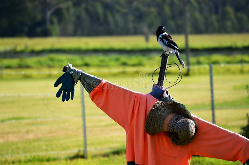 Bird sitting on scarecrow. Agricultural image of bird scaring equipment on farm stock photography