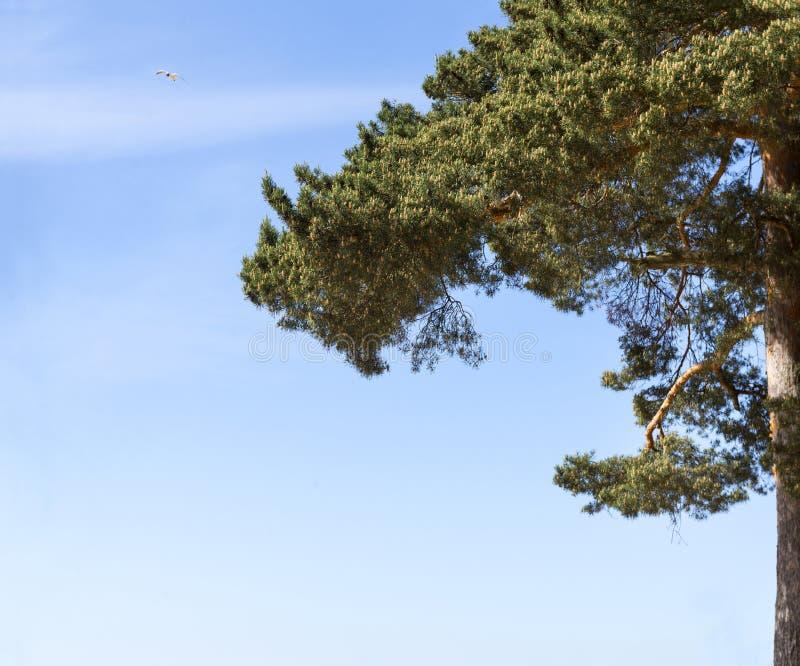 Bird in the sky, pine tree, blue sky, Seagull flying blue sky. Seagull flying blue sky, tops pines, bird in the sky, pine tree, blue sky royalty free stock photography