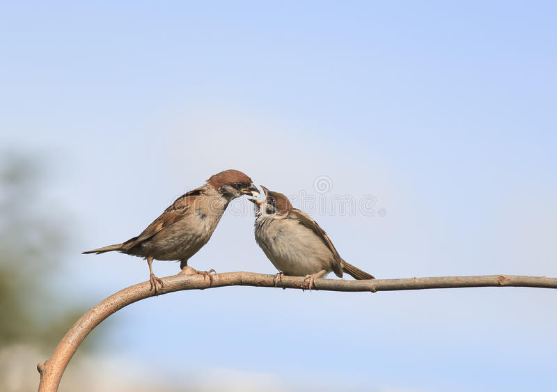 bird a Sparrow feeding his hungry little chick on a branch stock photos