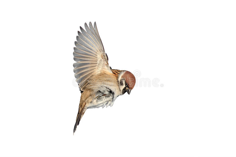 A bird a Sparrow flies to spread its wings stock photo