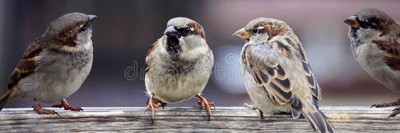 Bird, Sparrow, House Sparrow, Fauna