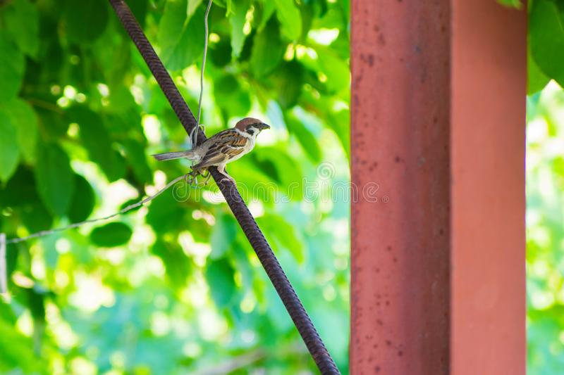 Bird Sparrow House. Sparrow sits on a metal armature under the seatless on the background of green leaves of flowers. royalty free stock photography