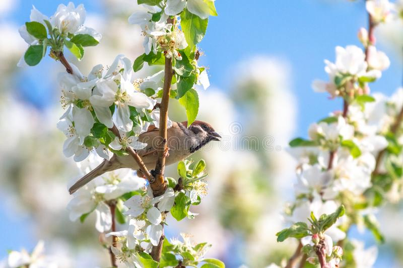 The bird the sparrow sits on a blossoming apple tree.  stock photography