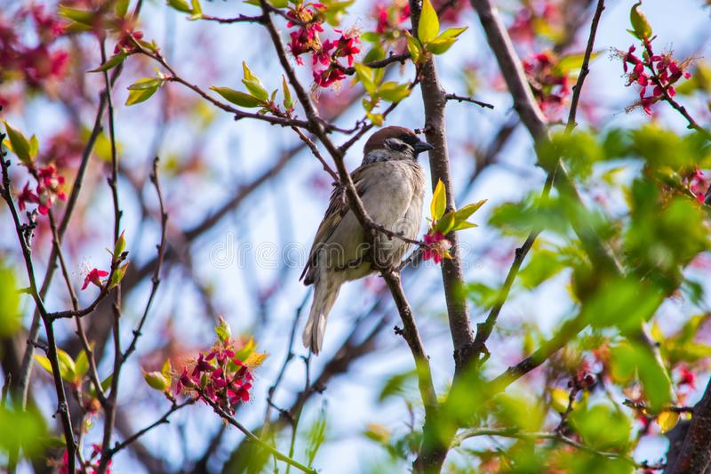 Bird Sparrow sitting on a branch of a flowering tree apricot. Bird close up. stock image