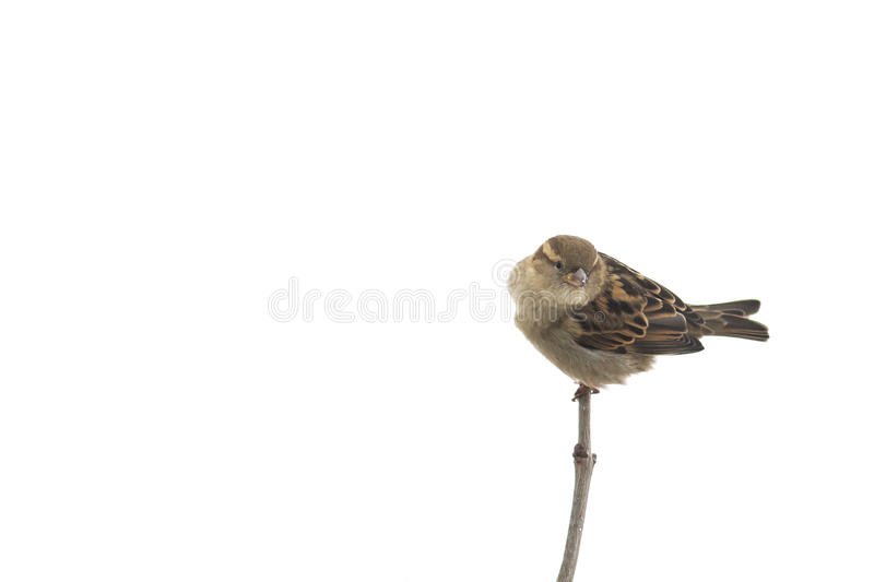 bird Sparrow sitting on a tree branch in the Park on a white isolated background stock photos
