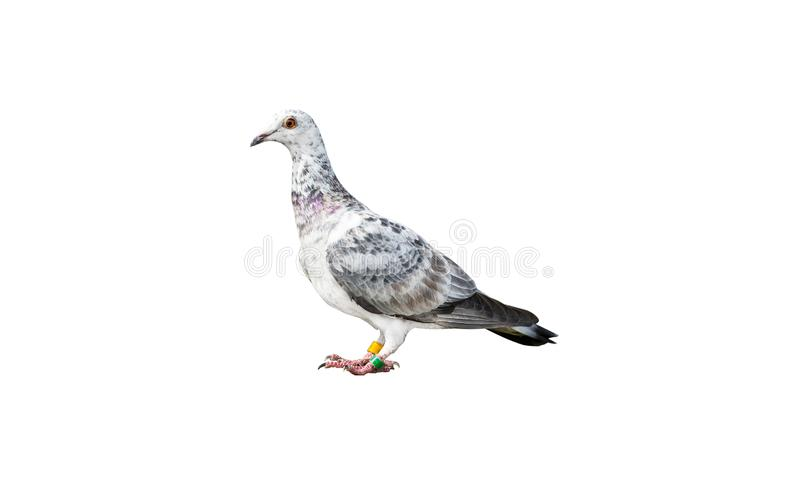 Bird of the species Italian Owl pigeon in white and black color, isolated on a white background with a clipping path. stock photo