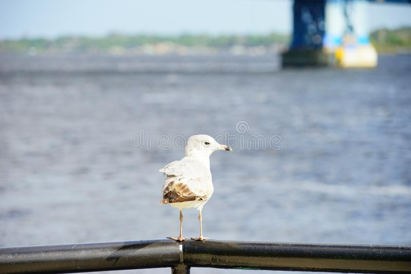 Bird and st johns river. In Florida, USA royalty free stock photography