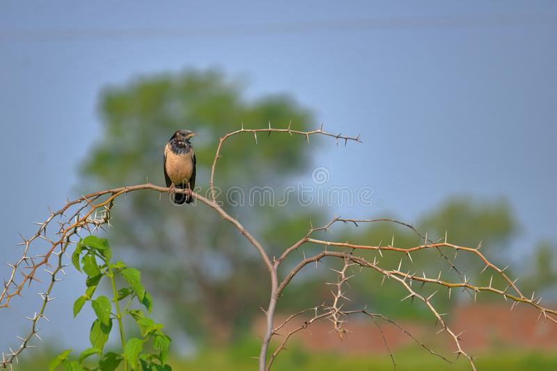 Rosy pastors, rose colored starling, bird, nature,. Bird standing on the branch of torn bush. beautiful and natural sky blue and green background royalty free stock photography