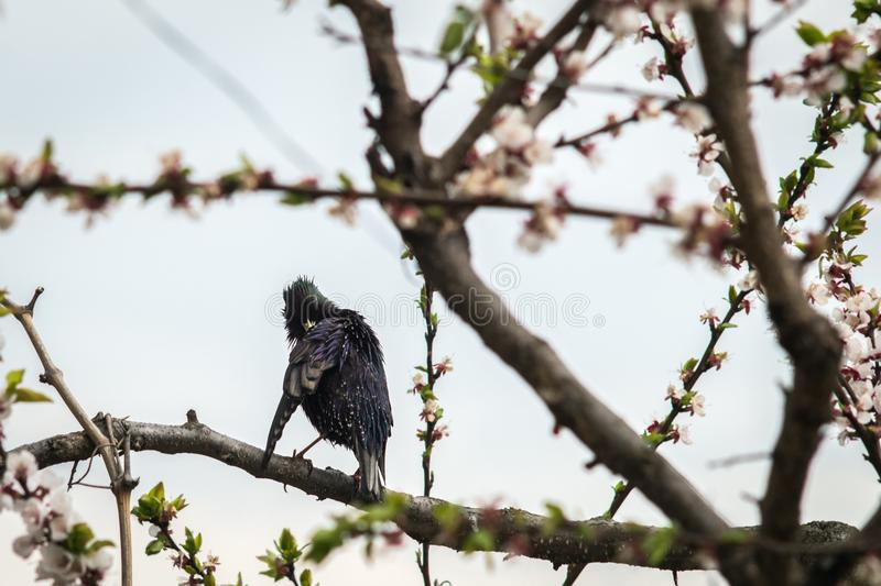 A bird starling on a flowering tree cleans feathers royalty free stock photos