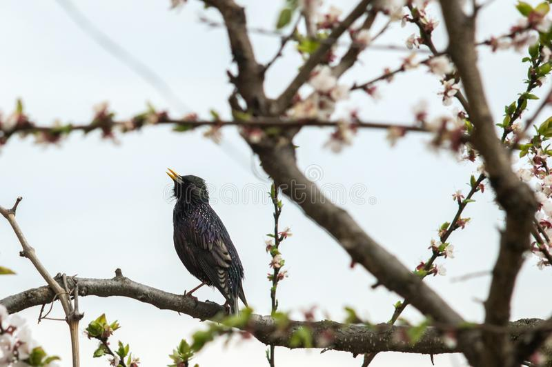A bird starling on a flowering tree sings royalty free stock images