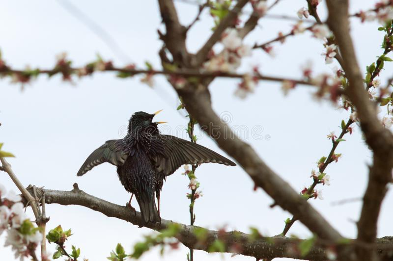 A bird starling on a flowering tree wings up royalty free stock images
