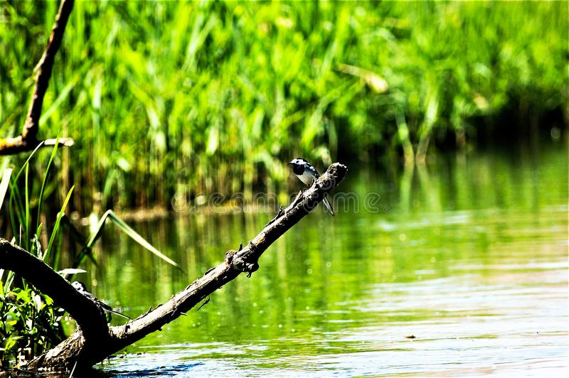 Bird in the River. A Bird stay on a old tree royalty free stock images