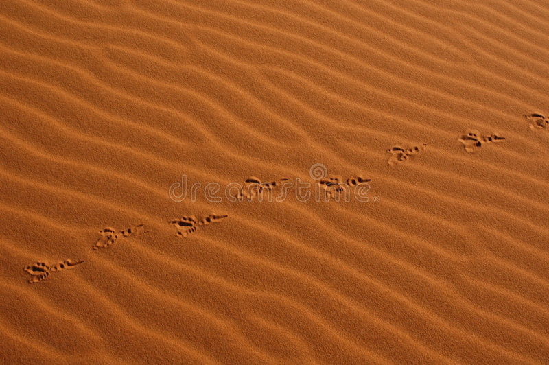 Download Bird Steps In The Sahara Desert Stock Image - Image of moroccan, exploration: 461837