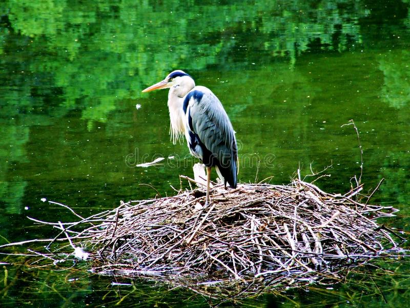 bird, stork, heron, nature, animal, white, nest, birds, wildlife, water, egret, beak, wild, storks, feather, green, feathers, fami stock image
