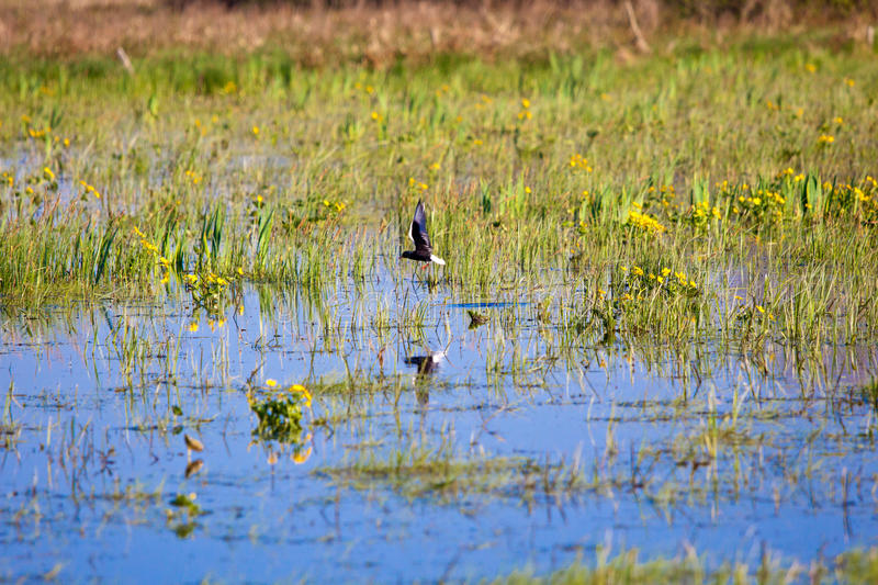 Bird on submerged area, Biebrza spring swamps. Bird on submerged area, Biebrza swamps royalty free stock images