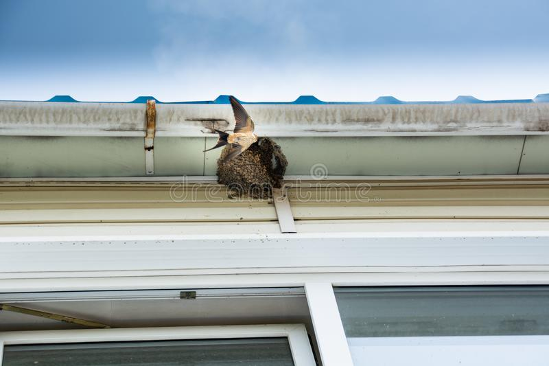 Bird, swallow is flies into nest. Swallow nest under roof royalty free stock photo
