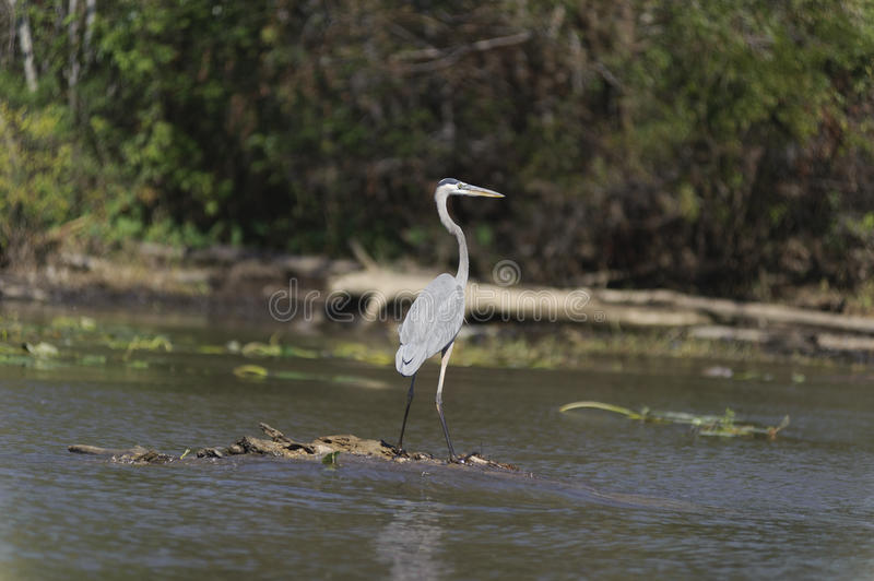 Download Bird in the swamp stock photo. Image of forested, woodland - 28432292