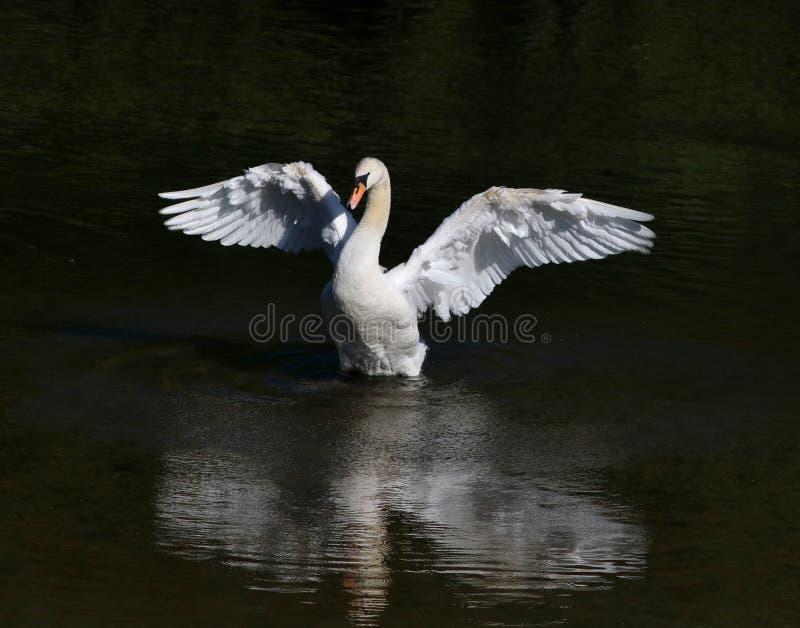 Bird, Swan, Water Bird, Ducks Geese And Swans stock photo