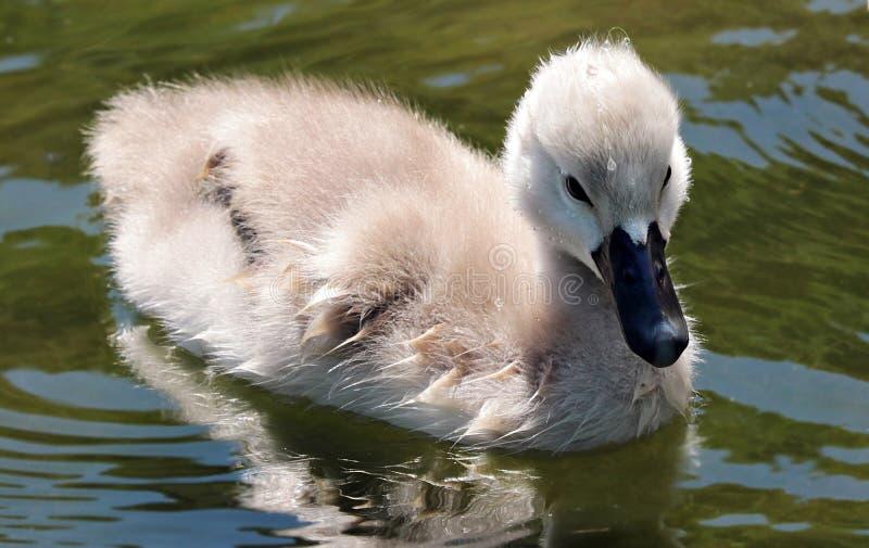 Bird, Swan, Water Bird, Ducks Geese And Swans royalty free stock image