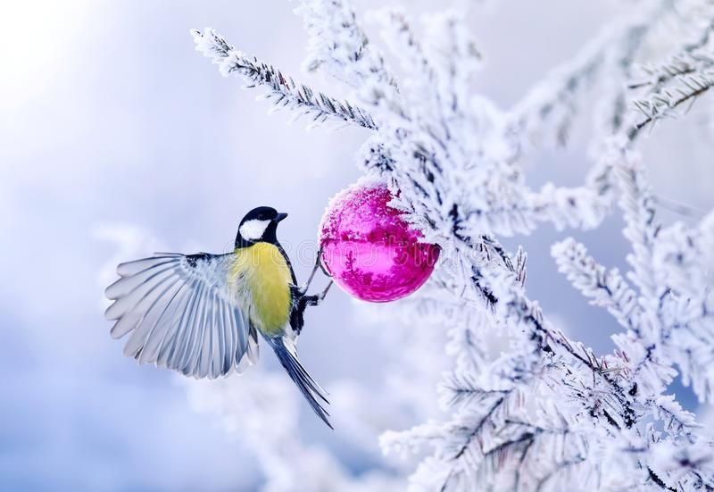 beautiful Christmas card bird tit on a branch of a festive spruce with shiny hoarfrost hanging on a New Year glass ball in the wi royalty free stock photography