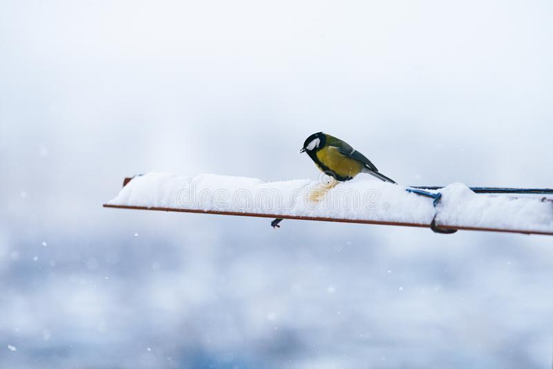 Bird titmouse eating bread in the winter and the snow is fluffy beautiful stock photos