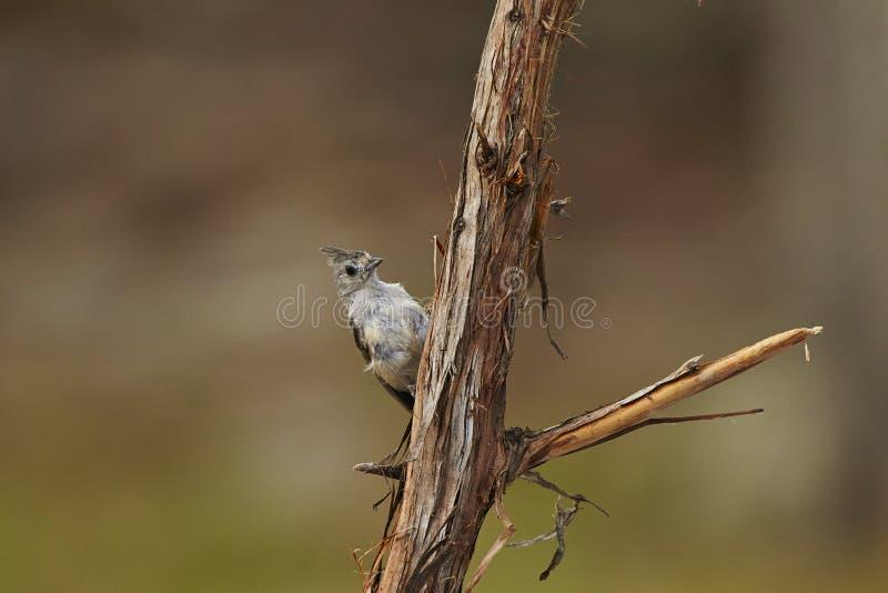 Bird. Titmouse tufted bird stock photo