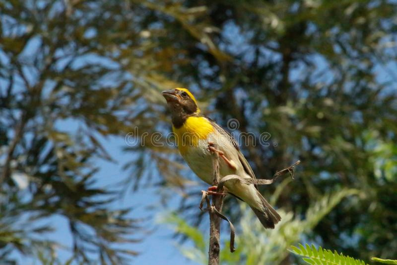 A bird on top of the twig and chirps out load probably looking for a mate. Yellow colored bird had no fear while it was clicked. stock photo