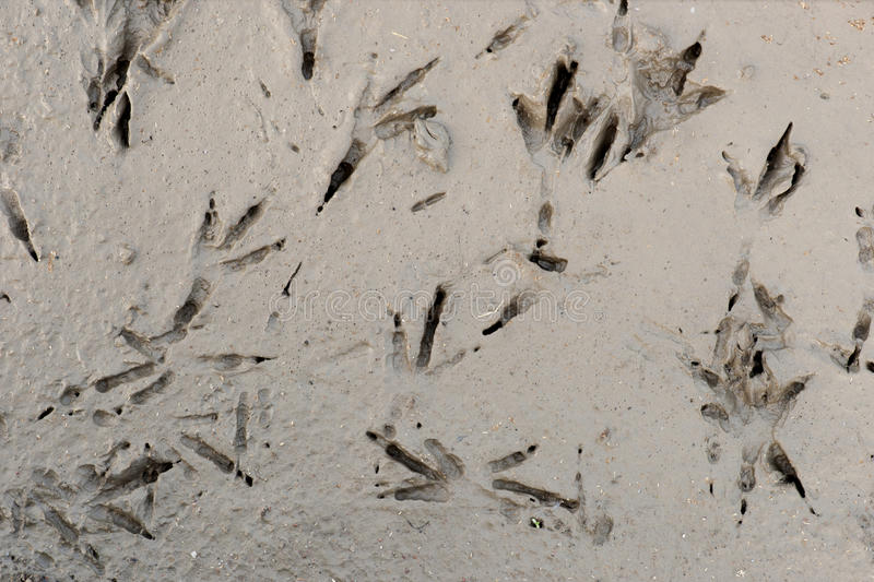 Bird tracks in mud royalty free stock photo