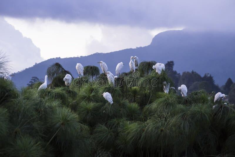 Bird Tree, Nuwara Eliya, Sri Lanka. White birds sitting on a tree royalty free stock images