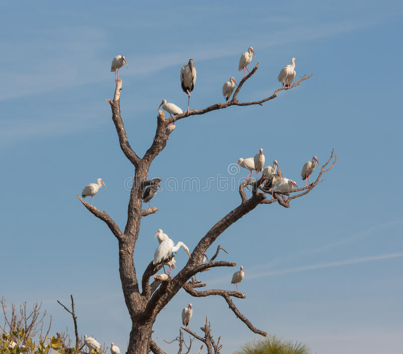 The Bird Tree. There are a few barren trees alongside the road leading to the Merritt Island Wildlife Reserve. Every once in a while a congregation of birds will royalty free stock photo